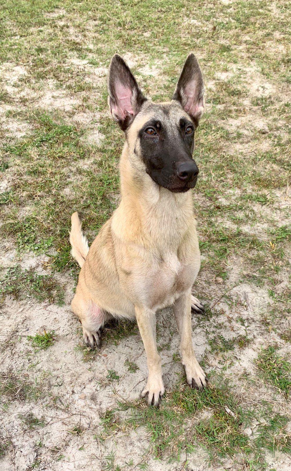 Adopt Electra On Dogs Up For Adoption Malinois Dog Animals