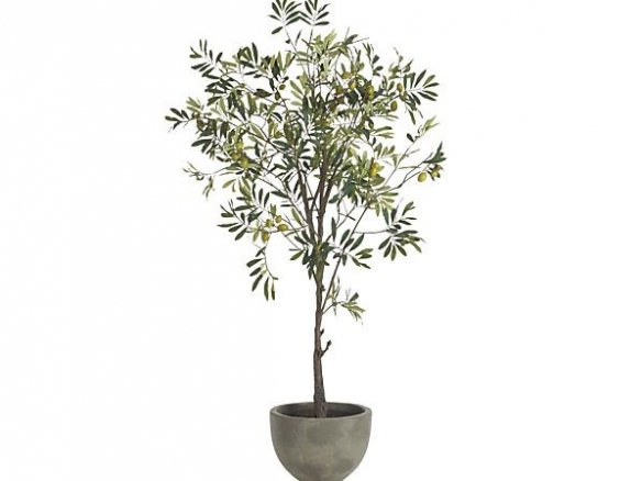 Potted Olive Tree Potted Olive Tree Olive Tree Olive