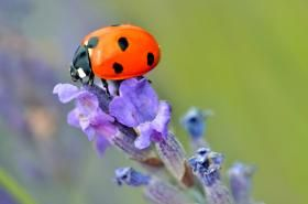 : If ladybugs move into your house this fall, make them welcome