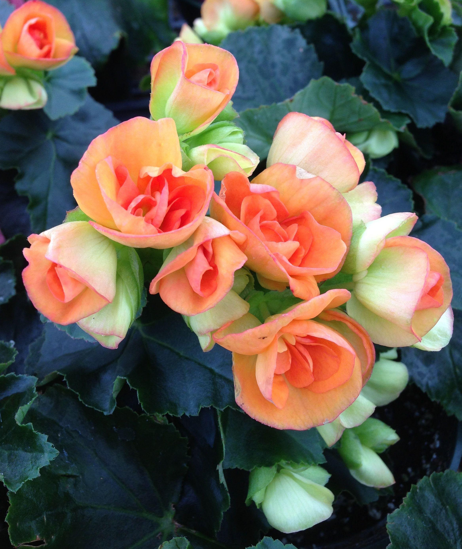 begonia elatior 39 batik 39 boasts soft coral blooms. Black Bedroom Furniture Sets. Home Design Ideas