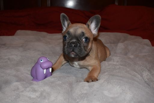 French Bulldog Puppy For Sale In Sacramento Ca Adn 32953 On