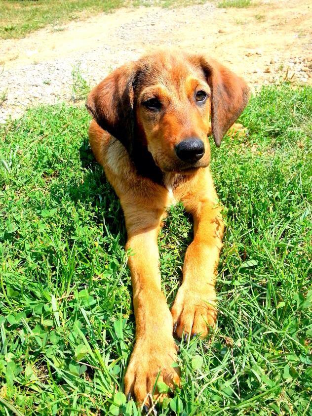 Adopt Bingo On Redbone Coonhound Dog Love Pets