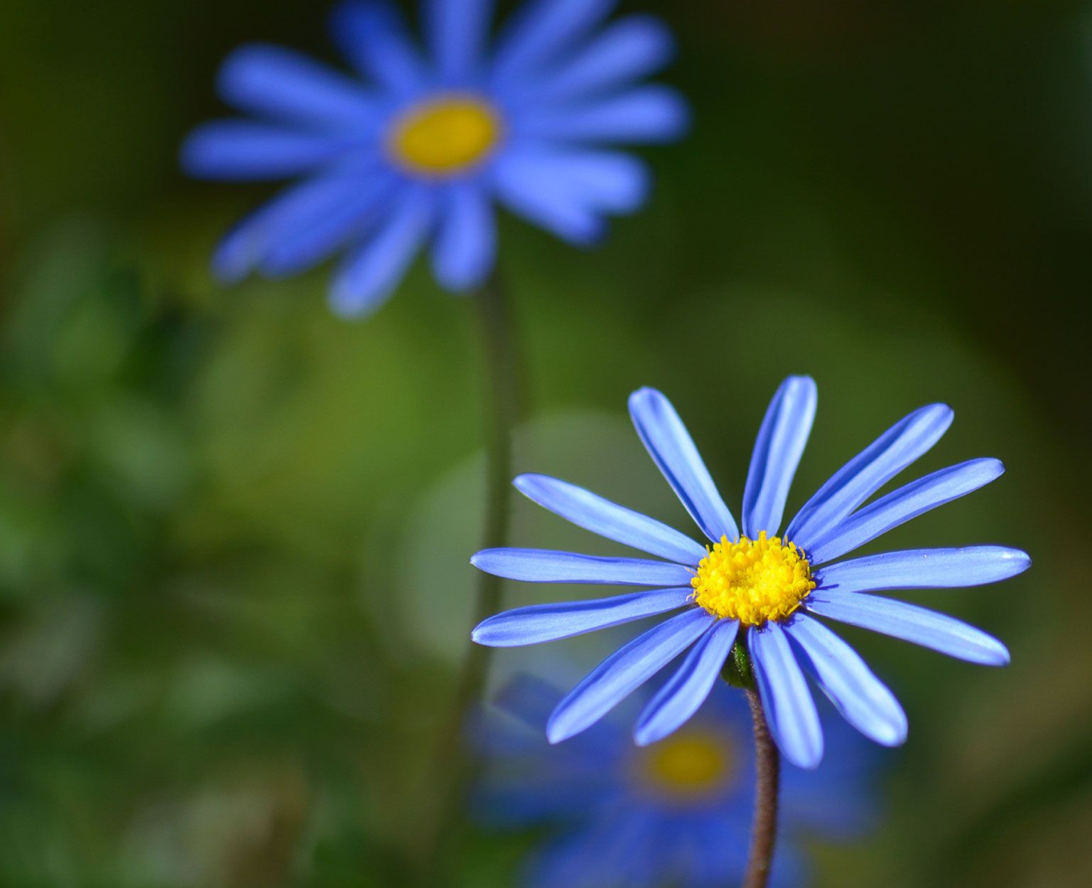 Felicia Blue Daisy Information How To Grow A Blue Kingfisher Daisy