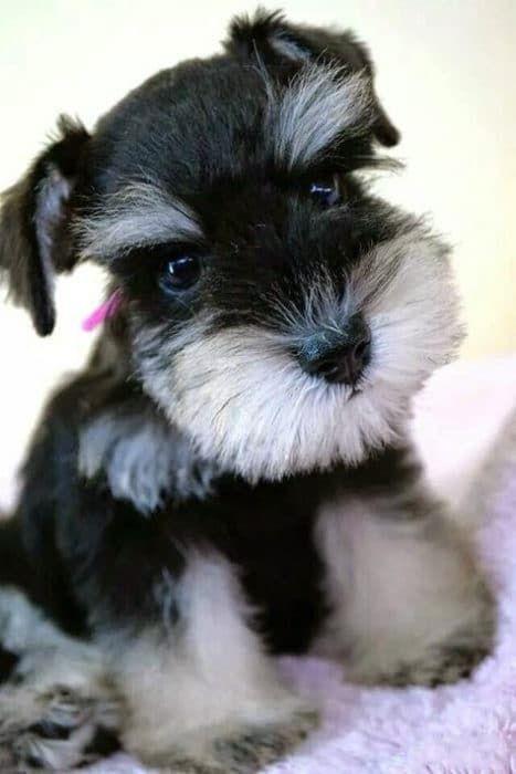 20 Reasons To Never Ever Adopt A Schnauzer Dog Breed Hypoallergenic Dog Breed Schnauzer Puppy Miniature Schnauzer Puppies