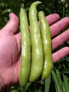 BEAN  - BROAD 'Aquadulce'  - Vicia faba. An heirloom variety that is an early producer of nutty flavoured broad beans. Produces large amounts of medium green pods that are about 15cm long and containing around  5 seeds each. Grows to about 1m so is great for windy areas.