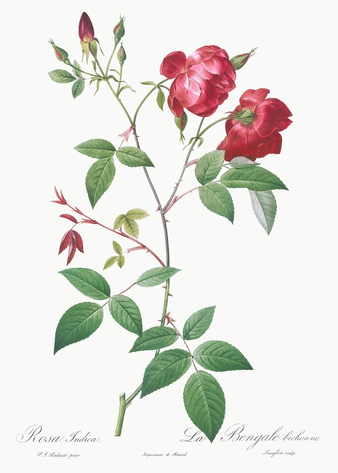 Velvet China Rose Rosa Indica From Les Roses 1817 Ndash 1824 By Pierre Joseph Redout Eacute Original From Rose Illustration China Rose Flower Illustration