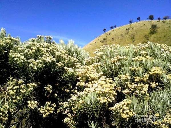 Bunga Edelwise Yang Menghiasi Trek Pendakian Gunung Merbabu Gunung Petualangan Indonesia