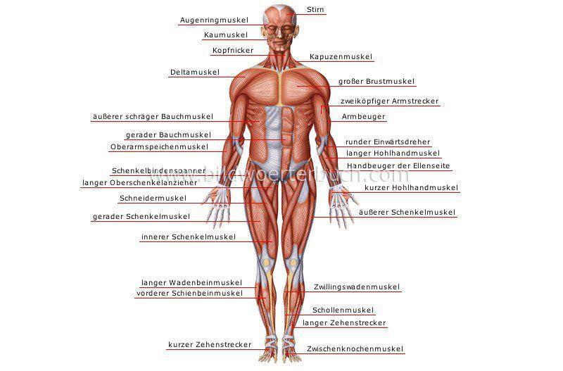 Muskel - vorne | boytsche | Pinterest | Muskel, Deutsch lernen und ...