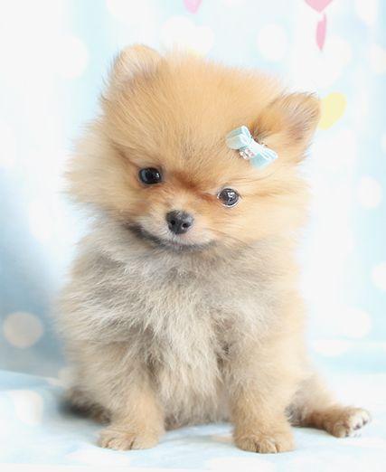 Cutest Pomeranian Puppy Fluffy Pomeranian Puppies Teacups Cute Pomeranian Pomeranian Puppy Puppies