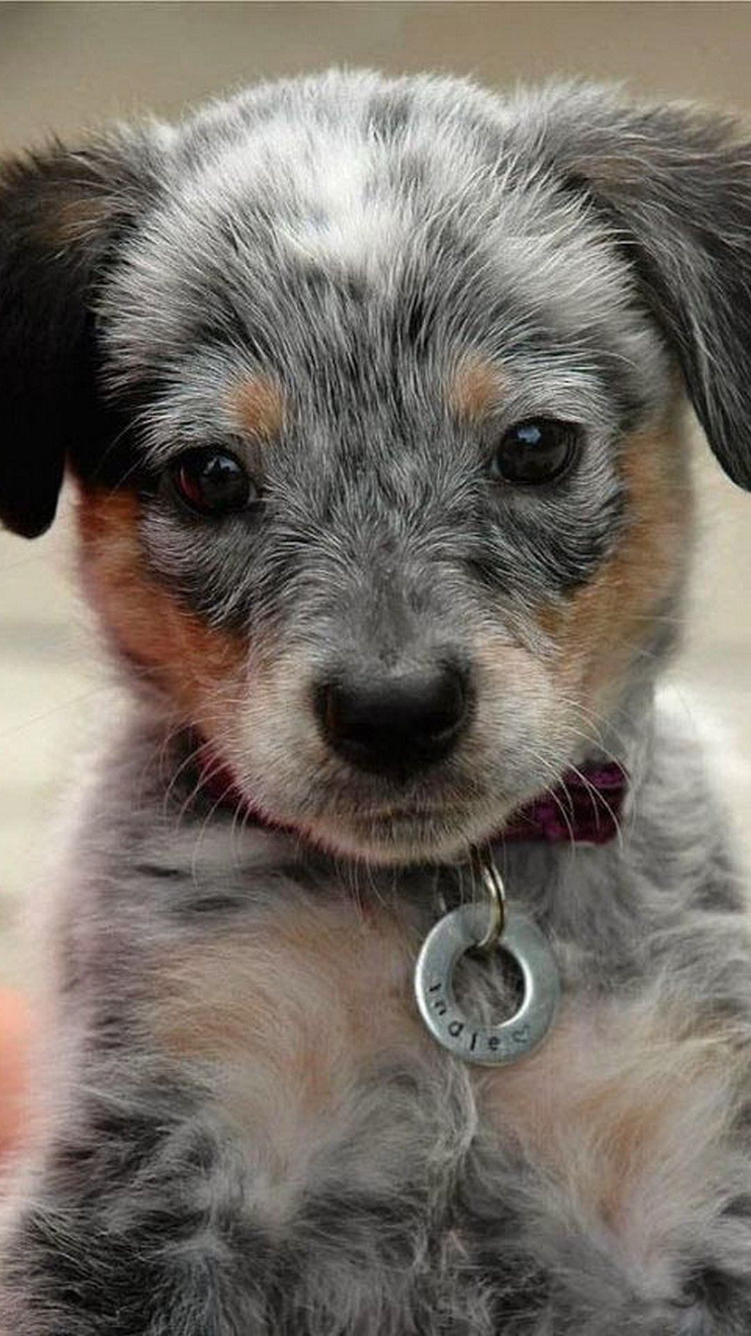 Wallpapers Funny Puppies Is High Definition Phone Wallpaper You Can Make This Wallpaper For Your Iphone 5 6 7 8 X Bac Cute Animals Heeler Puppies Pet Tags