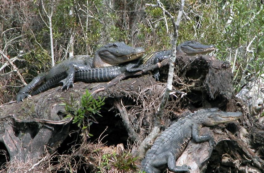 New Orleans Air boat Tours LLC airboat swamp tours Swamp