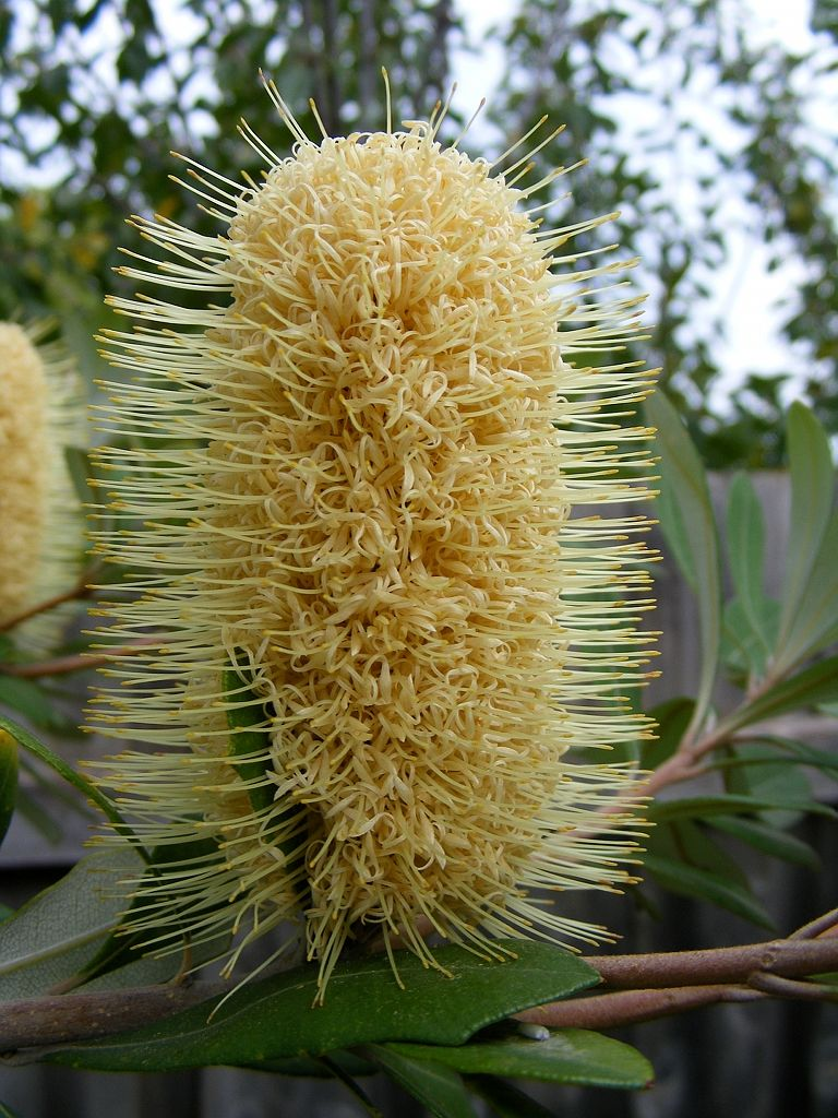 Coast Banksia Banksia Integrifolia One Of The Most Widely Distributed Banksia Species It O Australian Plants Australian Native Plants Australian Wildflowers