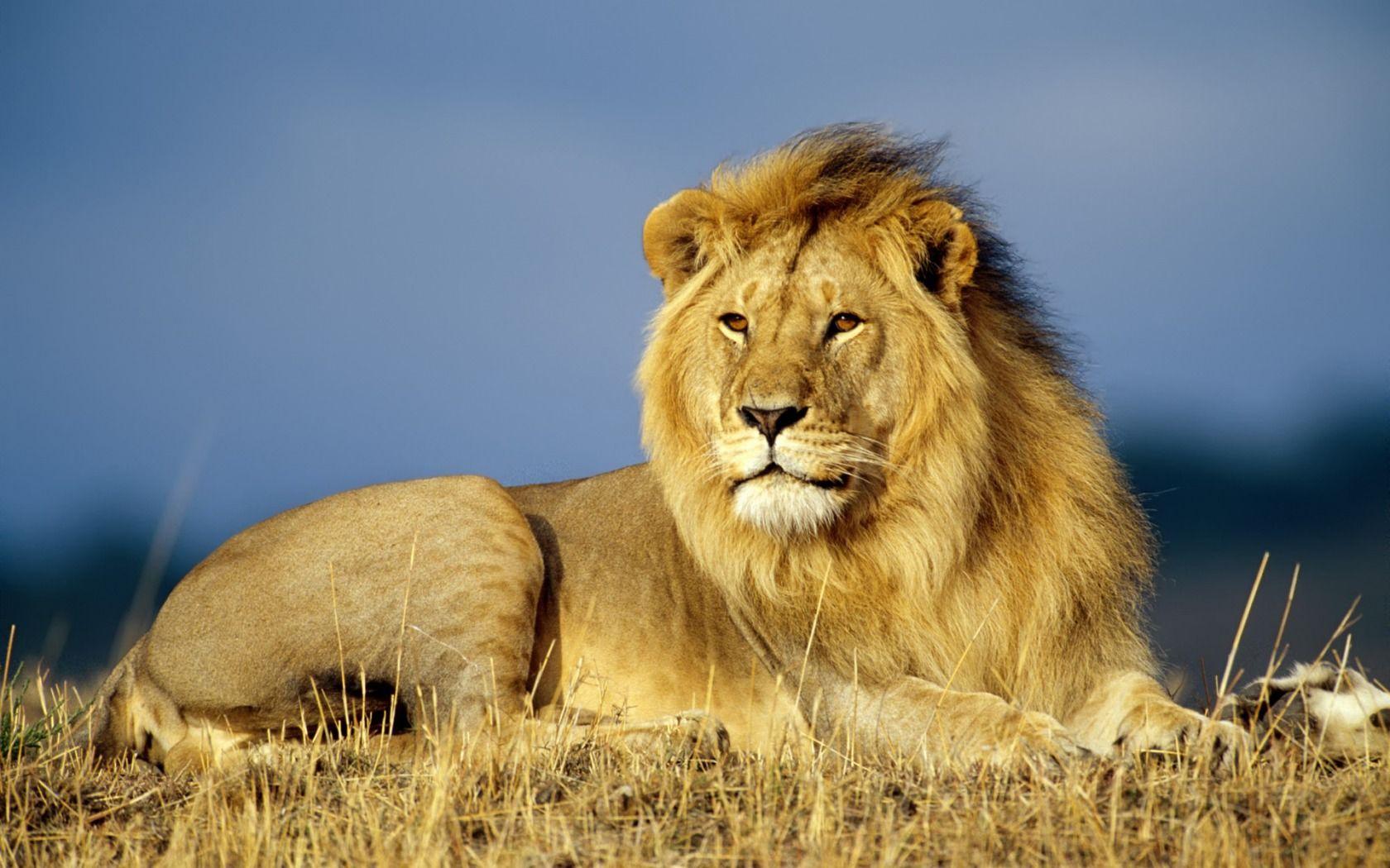 Leone il mistero del leone nero animals imgwhoop for Immagini alta definizione per desktop