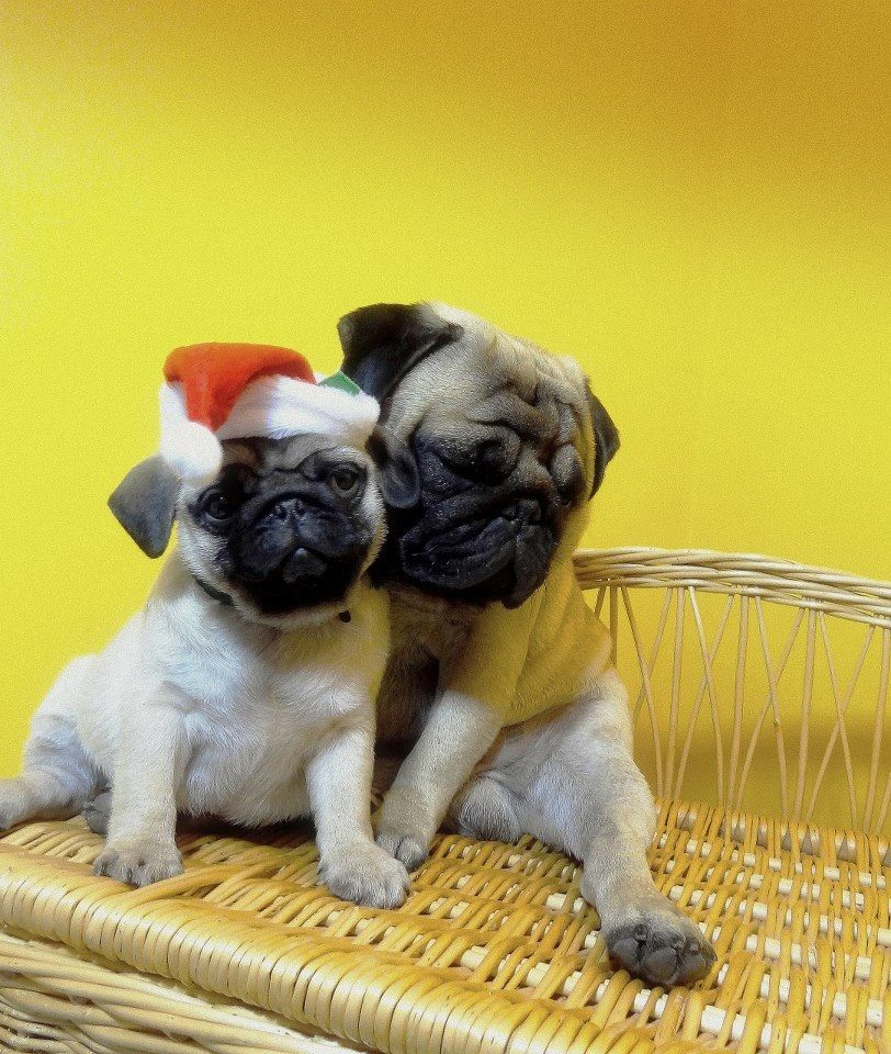 Mommy #pug with her baby #puglife