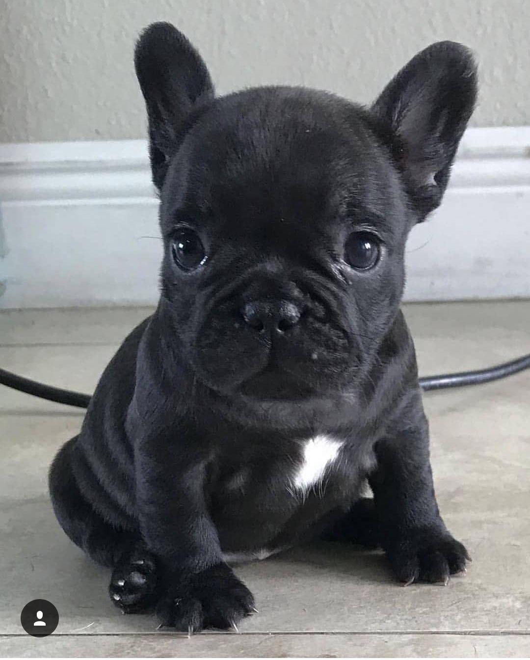Stay Atiras Alatt French Bulldog Puppies Cute Baby Animals