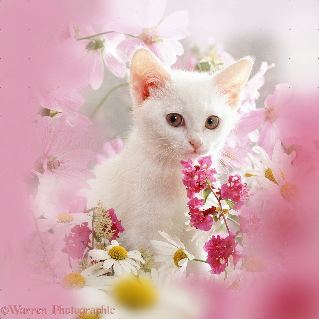 White Kitten And Pink Flowers Photo White Kittens Cute Cats And Kittens Pink Flower Photos