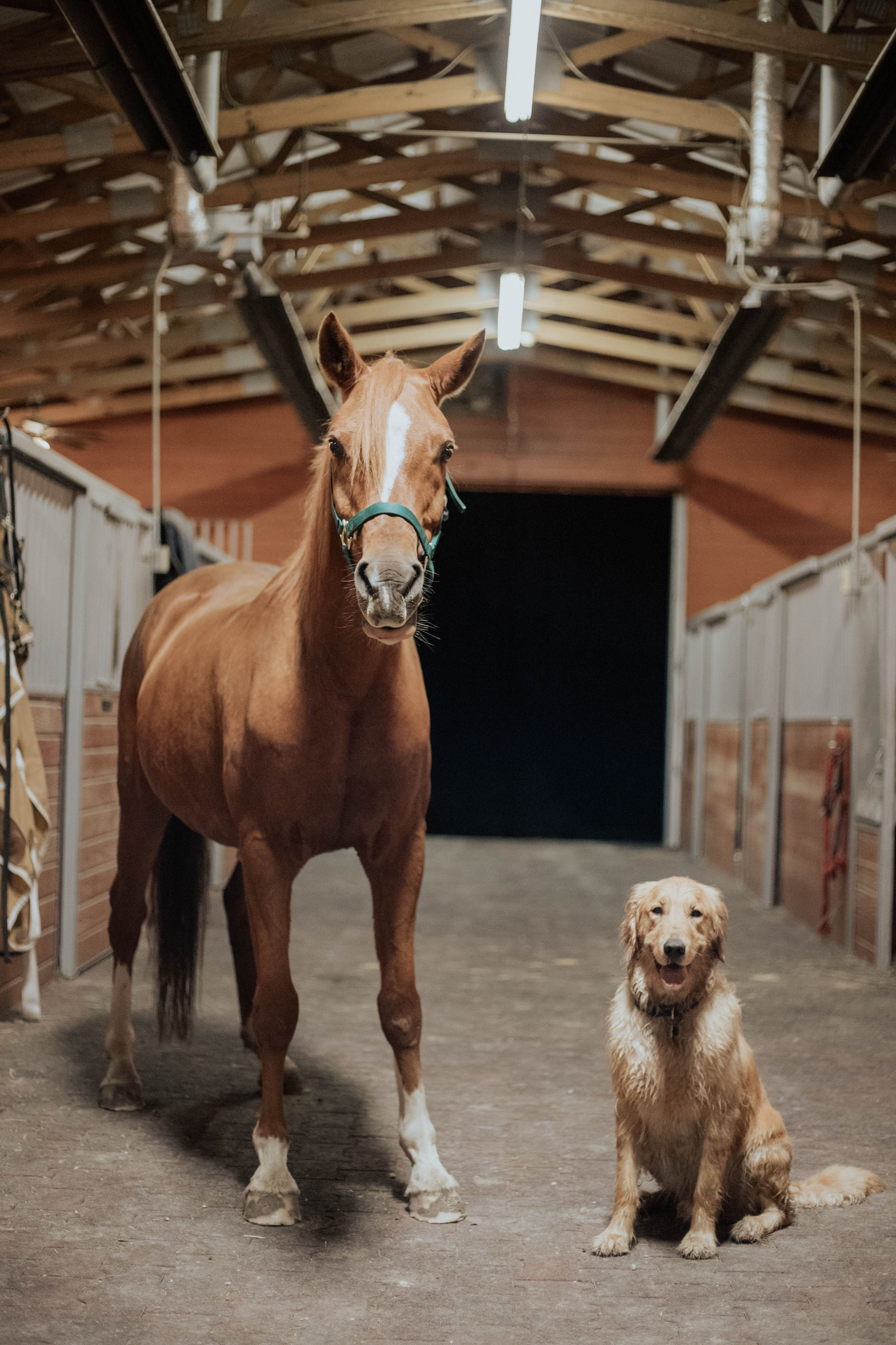 Lincoln Meets Lucky Golden Retriever Arabian Horse Blogger Wichita