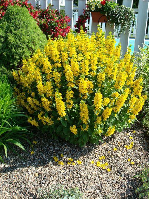 Lantana camara outside pinterest yellow perennials perennials lantana camara mightylinksfo