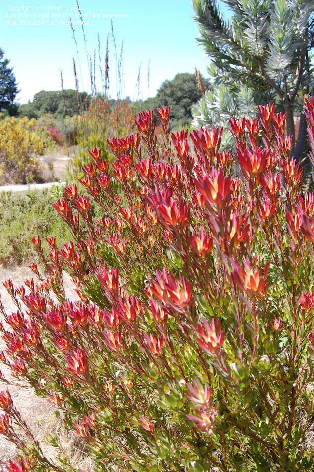 Pin On Drought Tolerant Plant Ideas