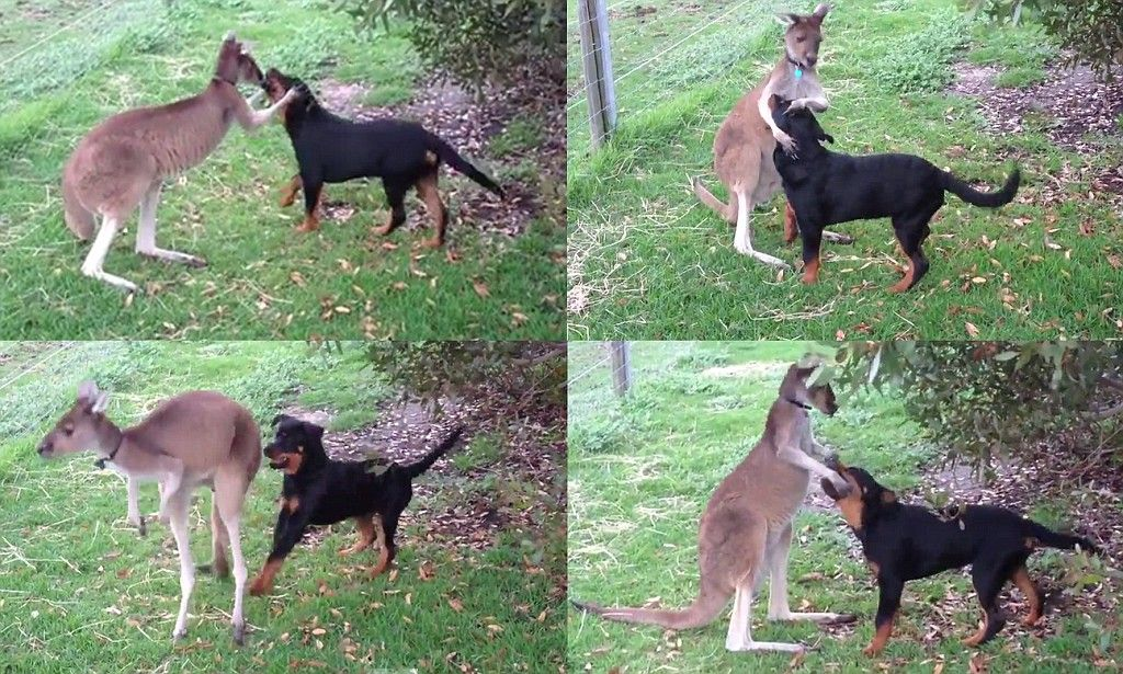Rottweiler And Kangaroo Play Tag In An Adorable Display Of