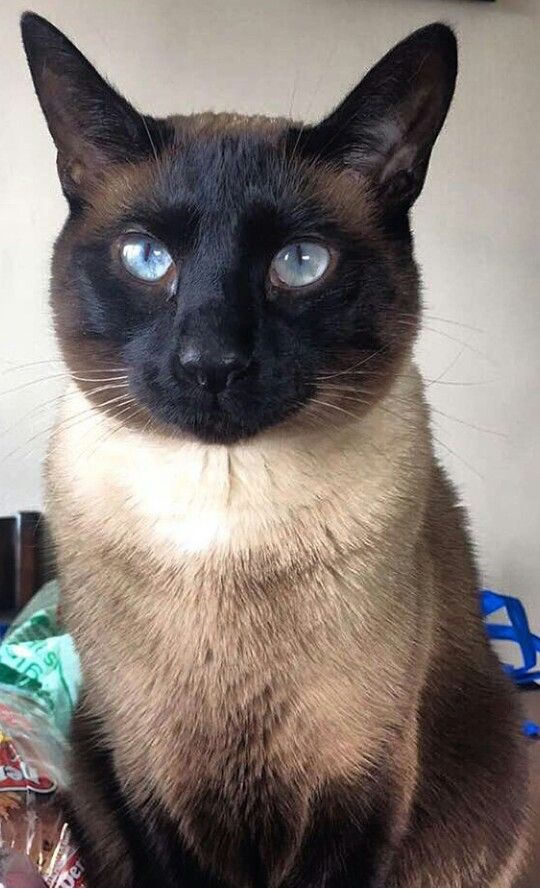 Pin By Erica Cruz On Animal Lover Cats Siamese Cats Cute Cats