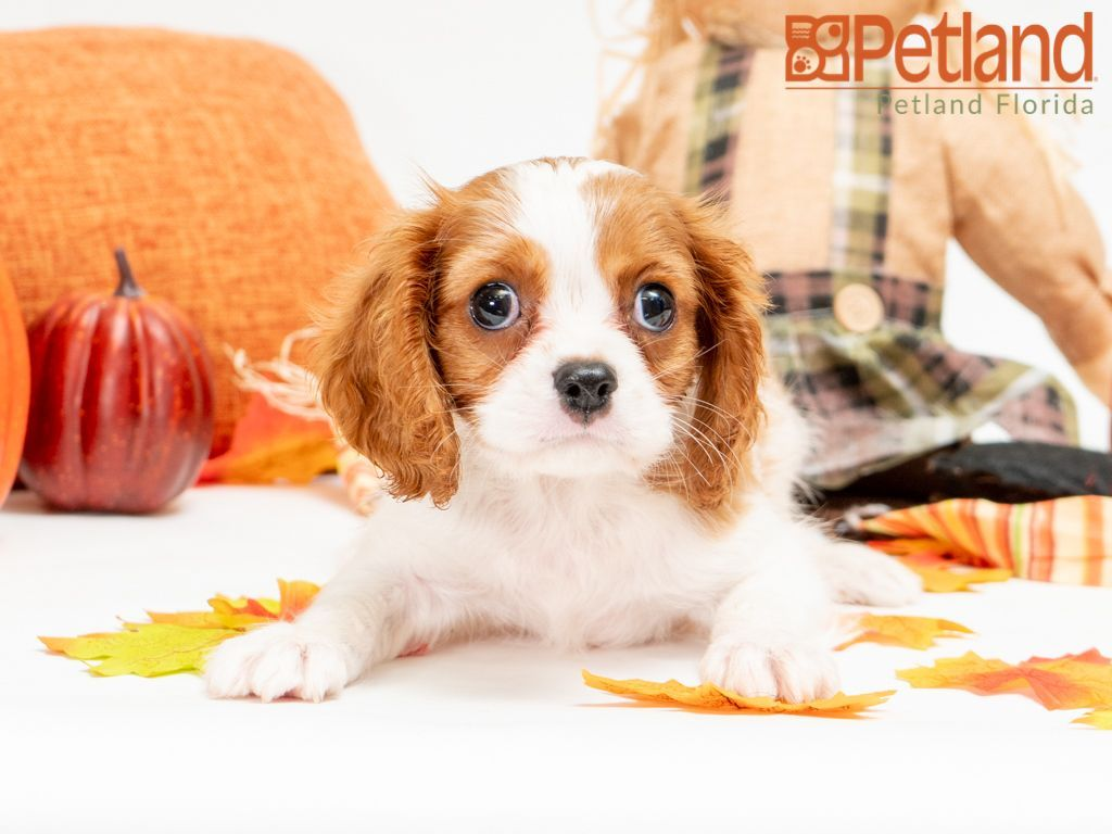 Puppies For Sale Spaniel Puppies For Sale Puppies Puppies For Sale
