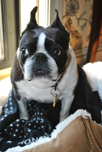 Is a boston terrier a purebred