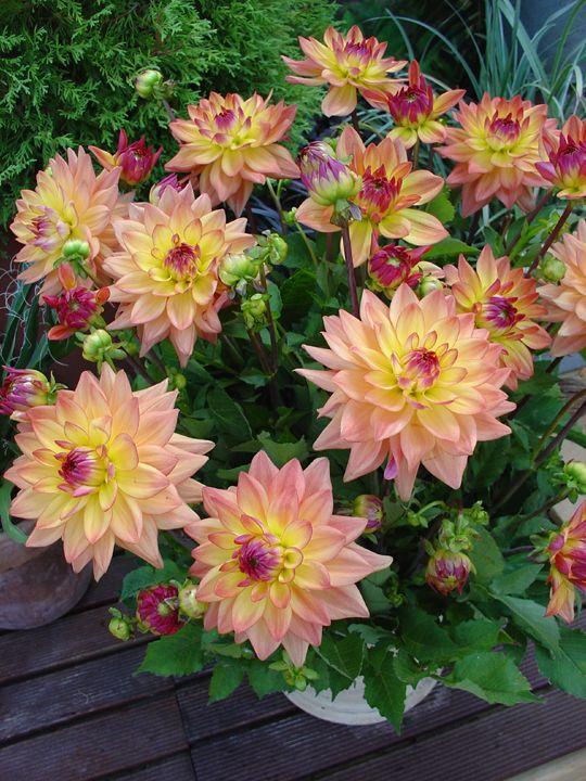Beautiful Dahlias For A Whiskey Barrel Planter Coppersmithandson Gardening Dahlia Flower Beautiful Flowers Pretty Flowers