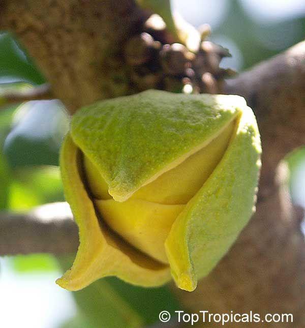 Resultado de imagem para guyabano fruit