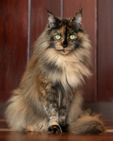 Pin by Maine Coon Guide on Maine Coon | Cats, Maine coon