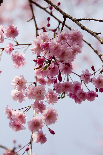Spring Beautiful Flowers Blossom Trees Sakura Cherry Blossom