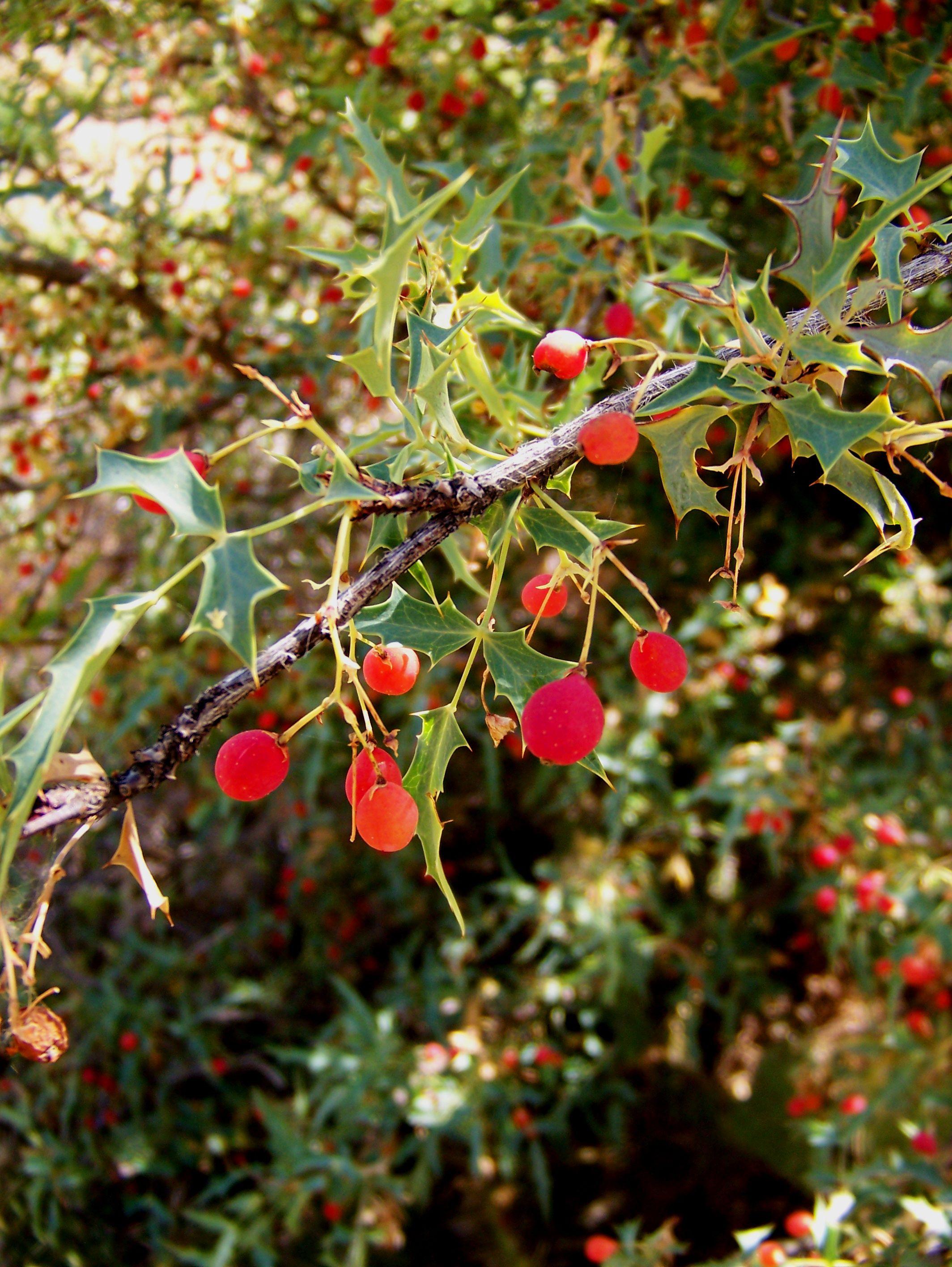 Algerita Edible wild plants, Wild plants, Medicinal plants