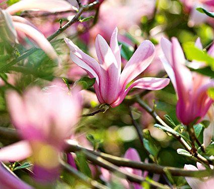 Magnolia Jane Blooms In May Very Fragrant White Flower Farm Jane Magnolia Tree Flowering Shrubs