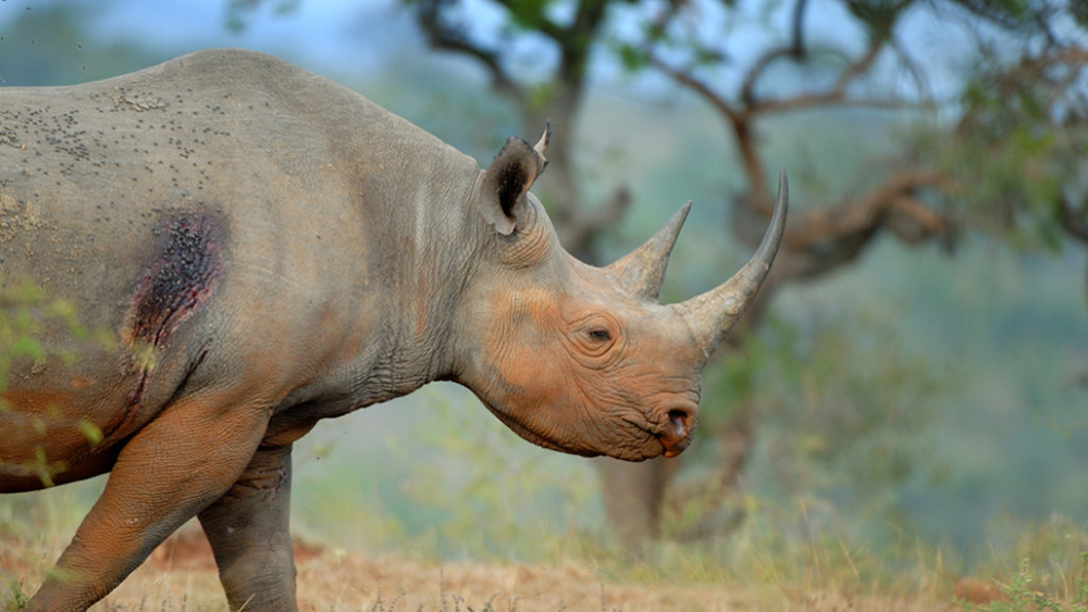 Hitchhiking oxpeckers warn endangered rhinos when people