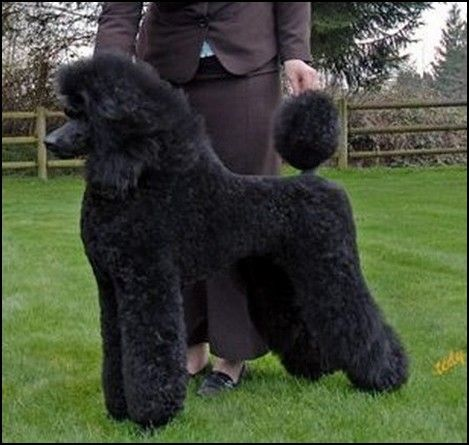 Standard Poodles Standard Poodle Puppy Show Trim Black Poodle