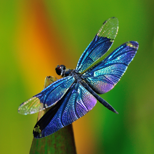 Dragonfly Wallpapers Mencesoft Dragonfly Wallpaper Dragonfly Unique Items Products