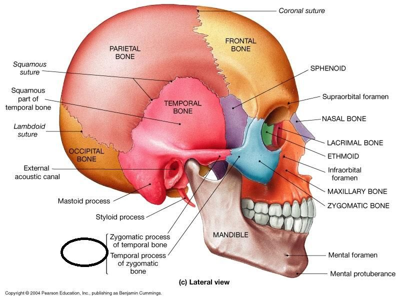 Latest 800 600 Anatomy Sphenoid Bone Axial Skeleton