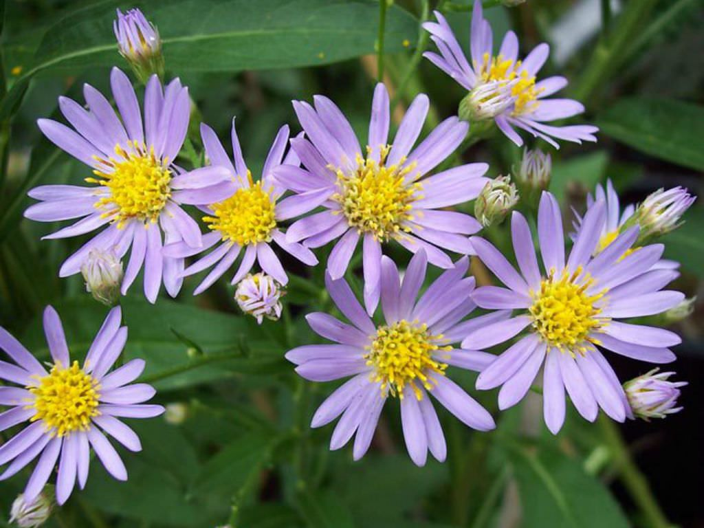 Aster Tataricus Tatarian Aster World Of Flowering Plants Planting Flowers Perennials Plants