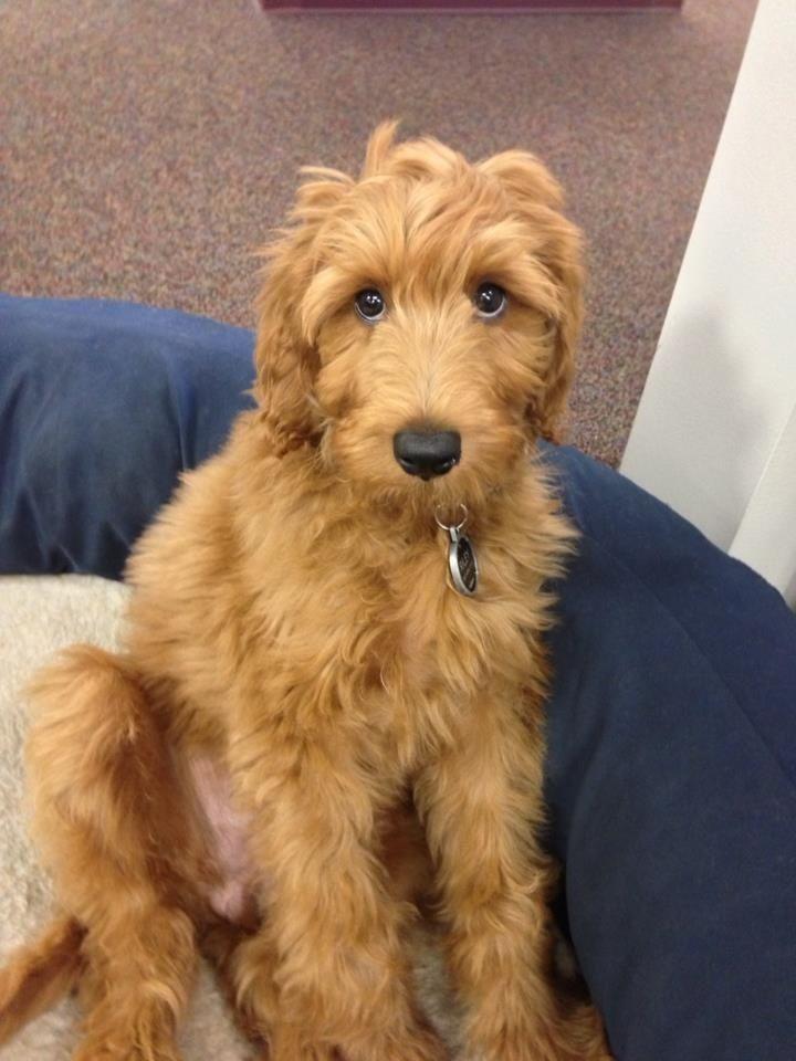 Irish Doodle Facts Temperament Training Diet Puppies