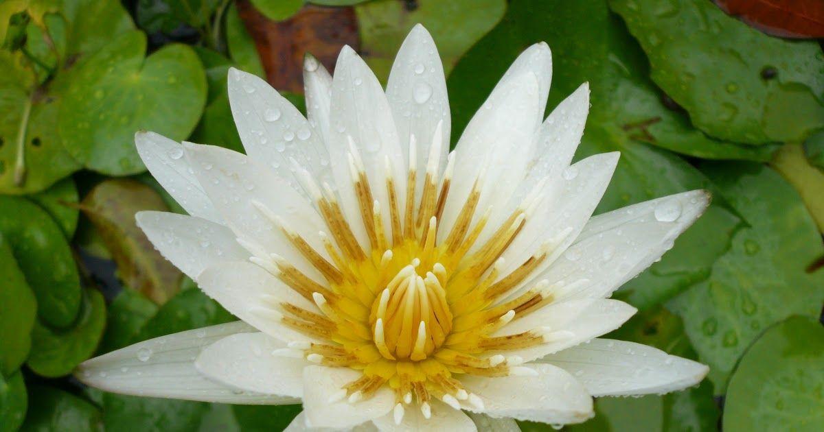 Gambar Bunga Seroja Putih Gambar Menanam Daun Bunga Kolam Botani Seroja Tanaman Air Tanaman Hias Air Lotus Seroja Putih Kelop Gambar Bunga Bunga Tanaman Air
