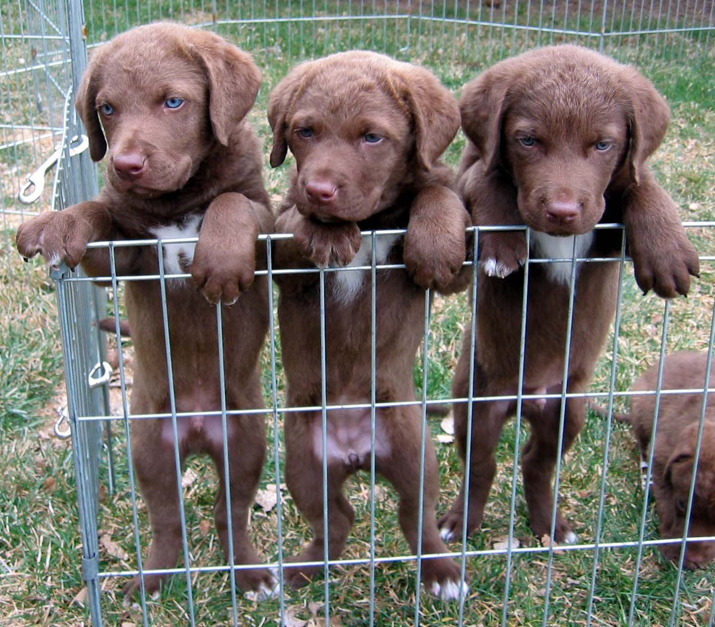 Chesapeake Bay Retriever Profiles And Pictures Dog Breeders Chesapeake Bay Retriever Puppy Chesapeake Bay Retriever Dog Breeds