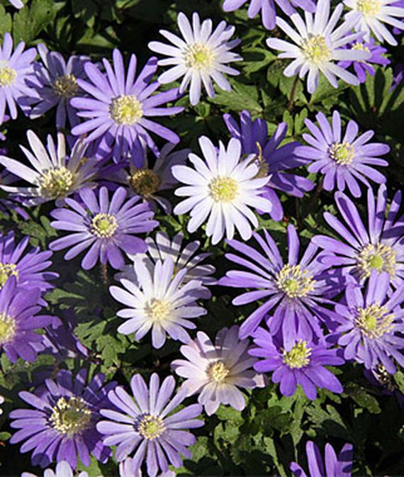 Anemone Blanda Mix Anemone Bulbs At Burpee Com Flowers Perennials Bulb Flowers Landscaping With Rocks