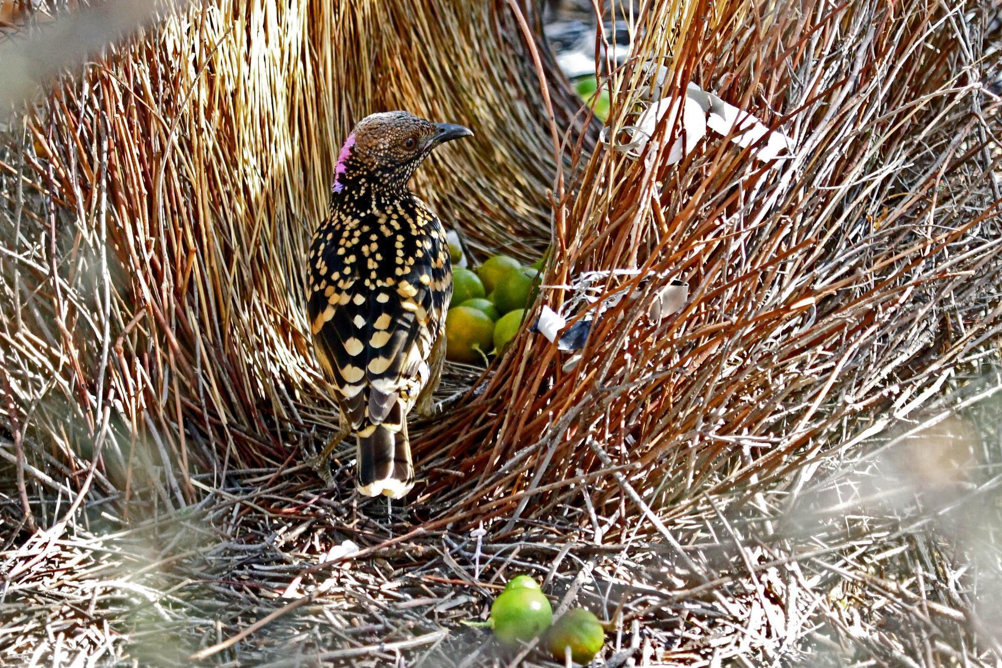 Western Bowerbird Google Search Bird Species Birds Westerns
