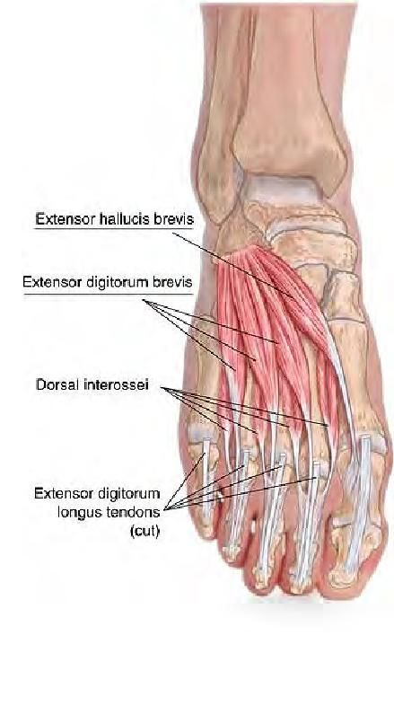 Basic Clinical Massage Therapy Great Anatomy Visuals Foot
