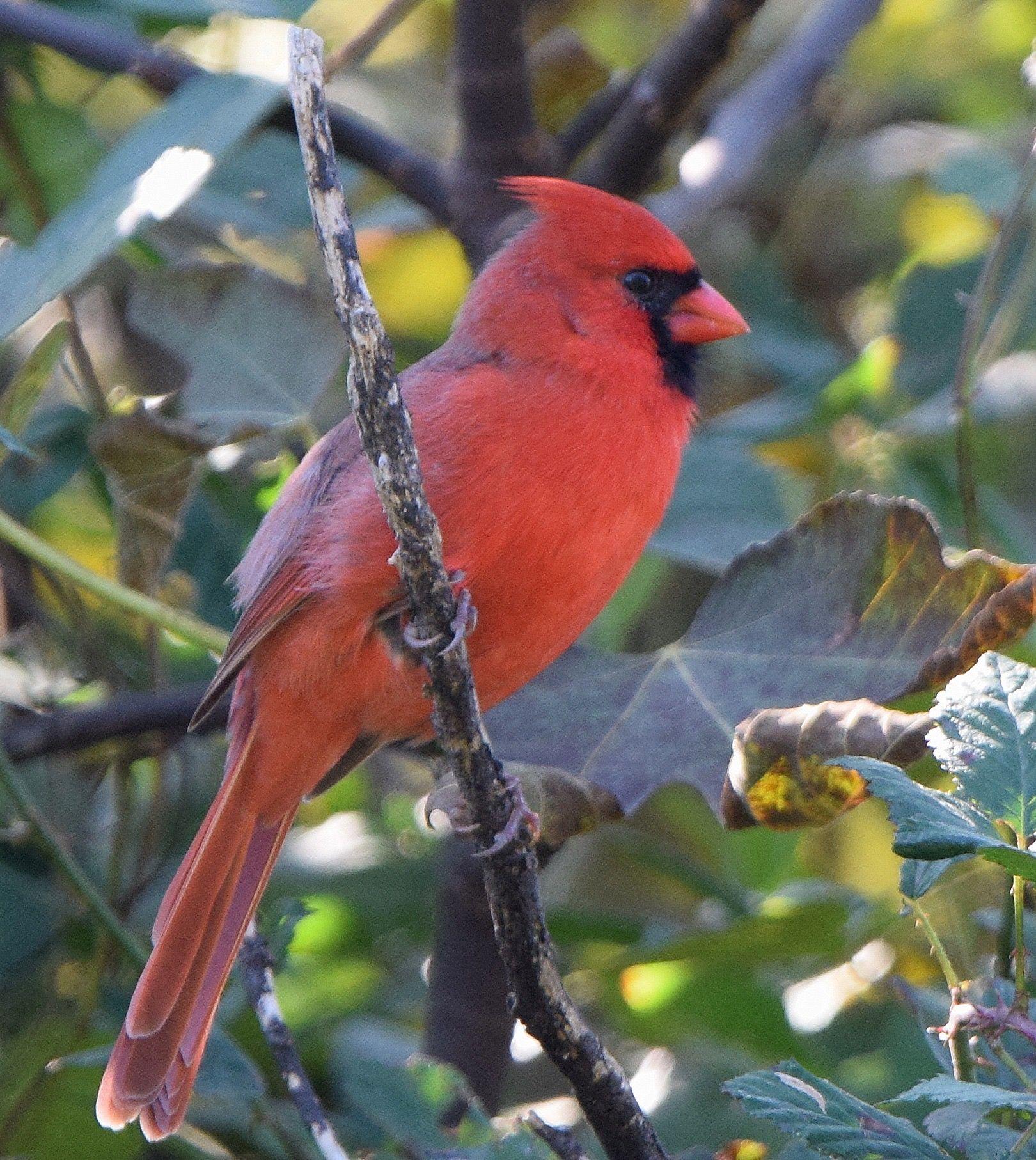 Beautiful State Bird Of Virginia E Cardinal