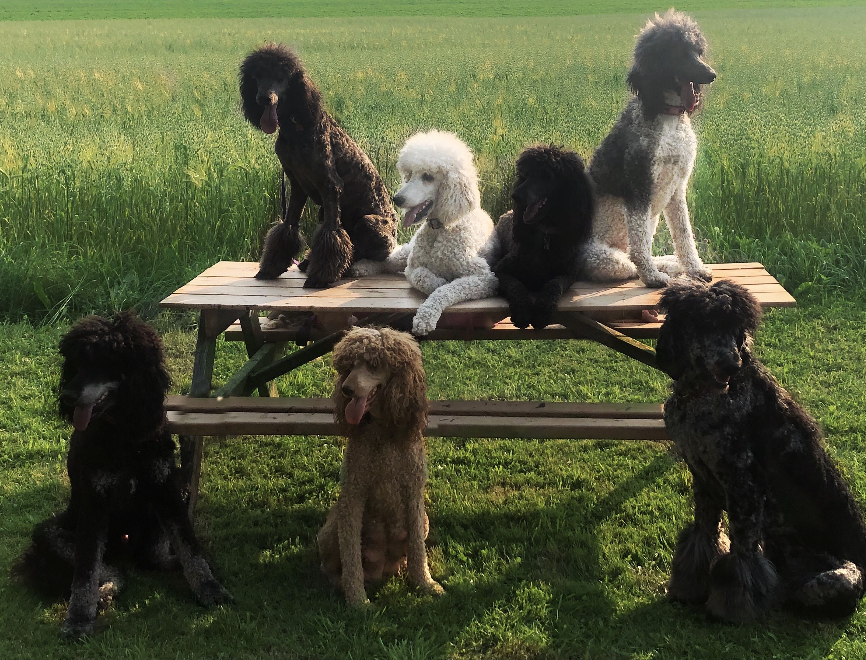Survey 15 Dog Breeds New Pet Owners Should Avoid Poodle