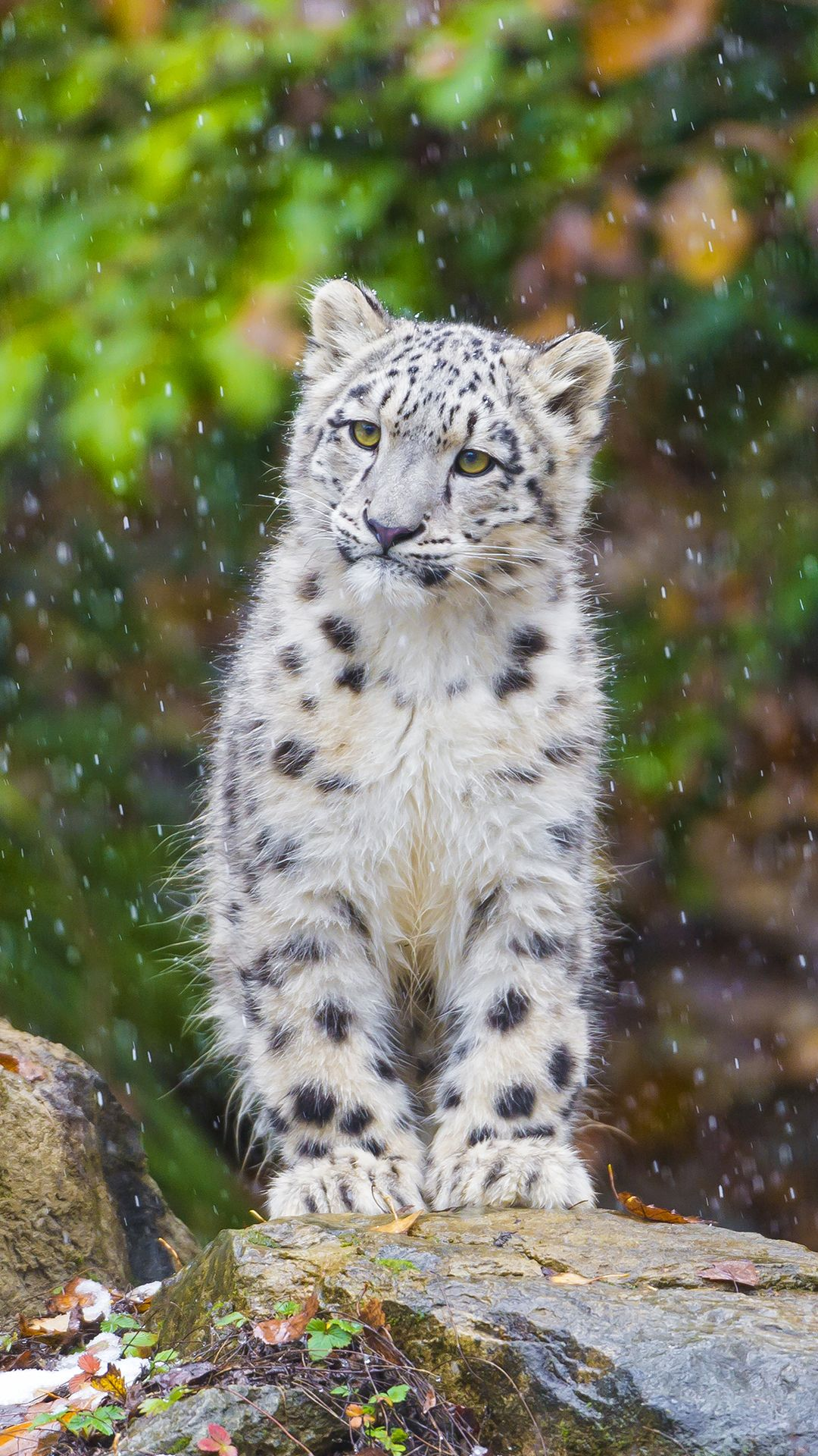 Pin by Connie L Bowser on Snow Leopard Animals, Wild