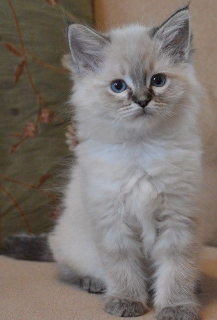 Rags2love Cattery Featuring Fluffy Loveable And Stunning Ragdoll Kittens Hometap The Link To Check Out Great C Ragdoll Kitten Fluffy Kittens Ragamuffin Cat