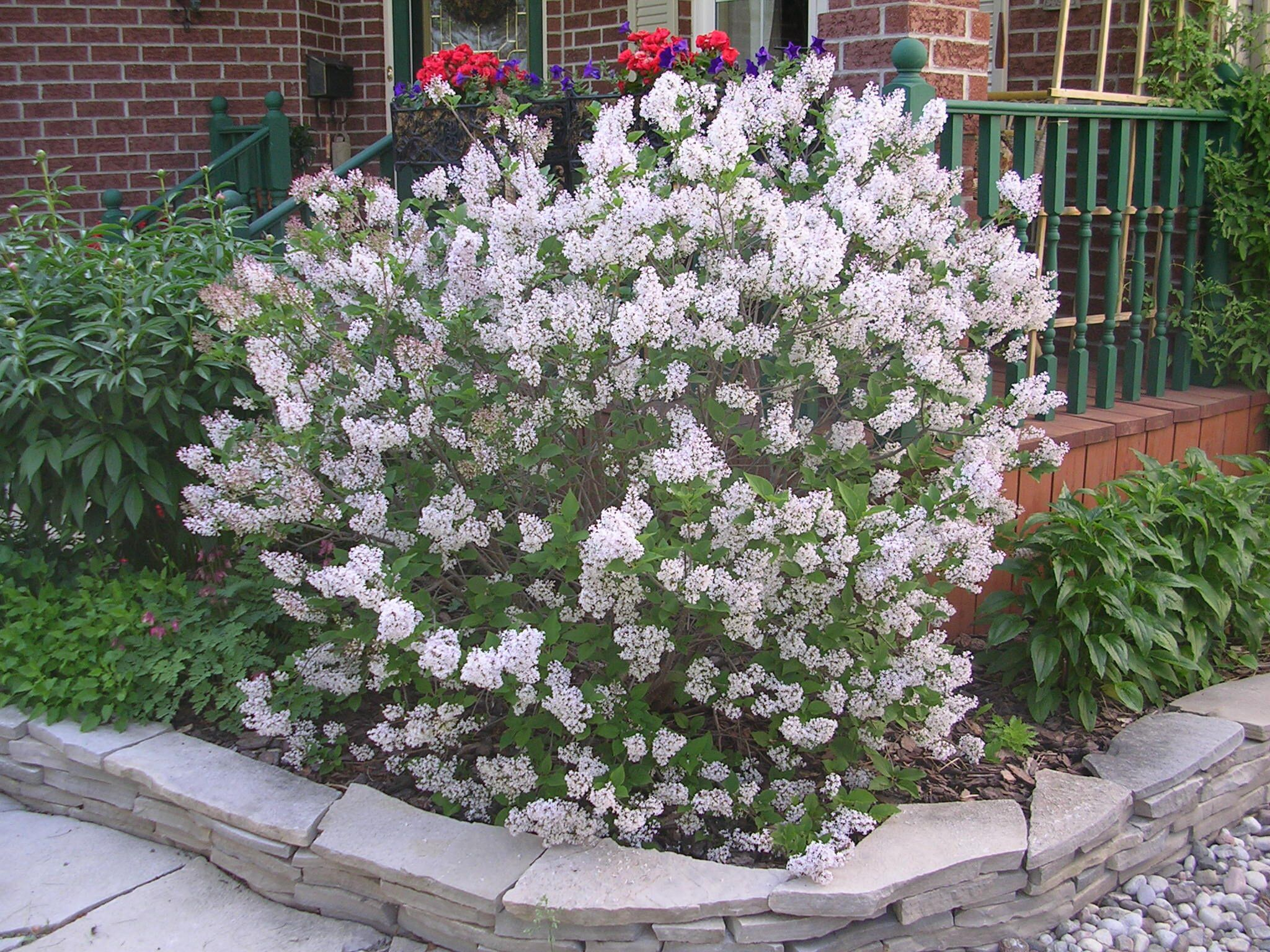 Miss Kim Lilac Fragrant Attractive Small Compact Shrub