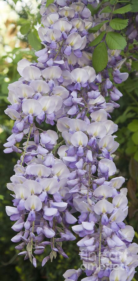 Wisteria Vine 3 With Images Beautiful Flowers Wisteria